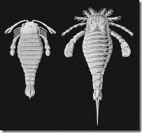 644px-Haeckel-Eurypterida1024